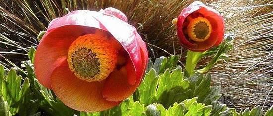 Flor de Rima Rima 003