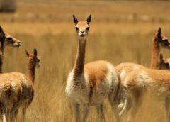 Fotos de vicuñas